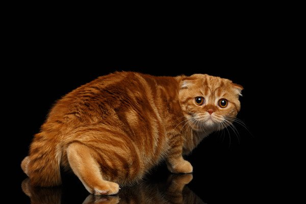 黒い背景で怯える茶色い猫