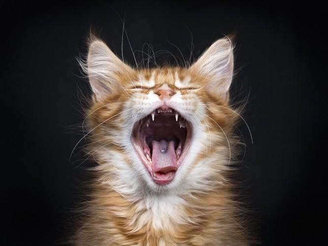 大きく口を開けてあくびをする猫