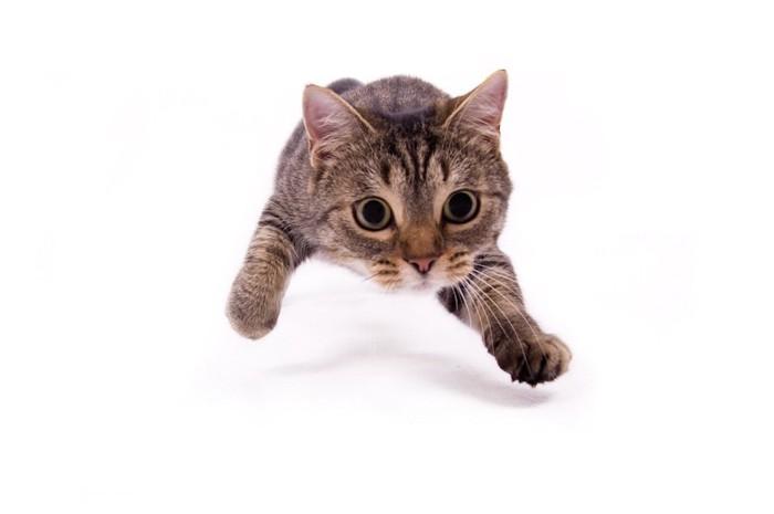獲物を狙って飛びかかる瞬間の猫の正面