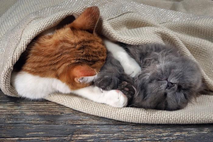 抱き合ってブランケットに包まる二匹の猫