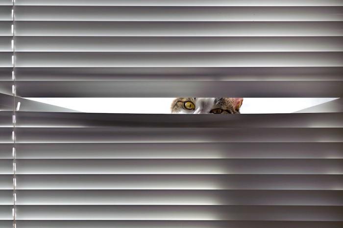 ブラインドの隙間から見つめる猫