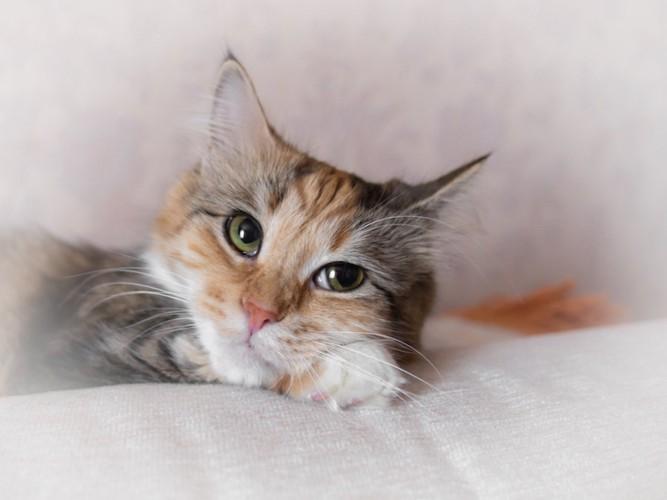 ソファーで考え事をしている猫
