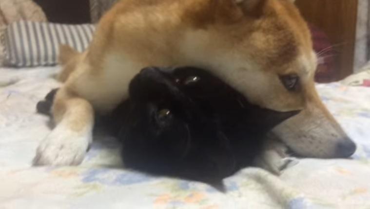 犬の下敷きになる猫(顔アップ)