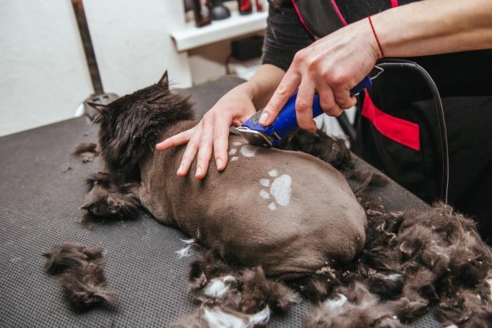丸刈りにされている猫