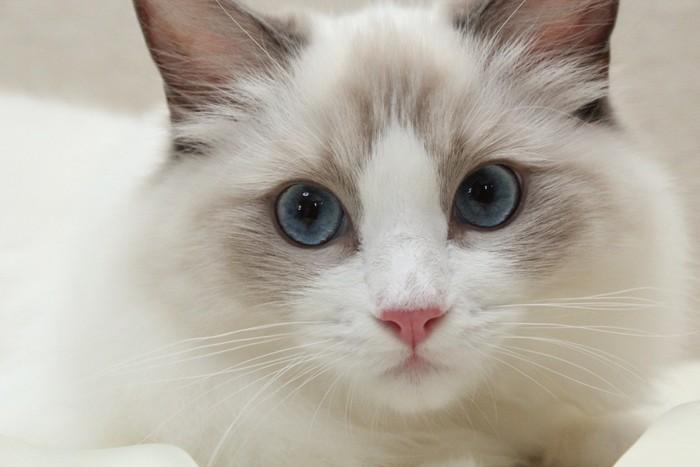 きれいなブルーの瞳の白い猫