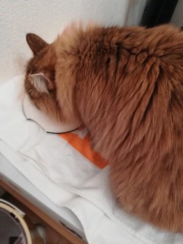 フードを食べる猫