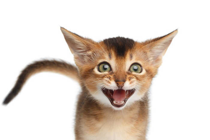 鳴き声を出している猫