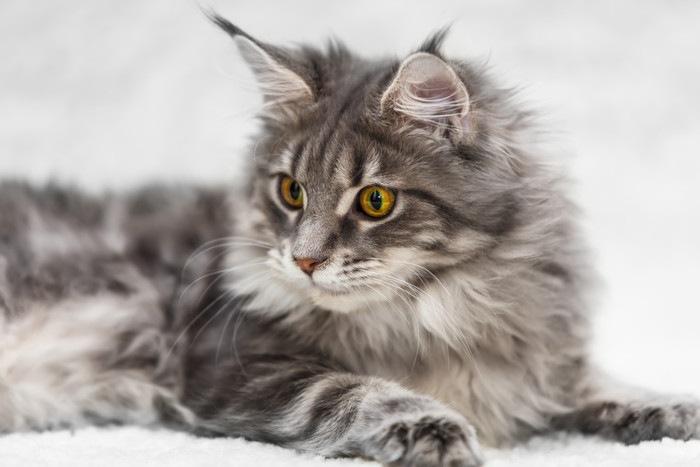 伏せるメインクーンの子猫