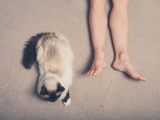 伸ばした人の脚の近くでくつろぐ猫