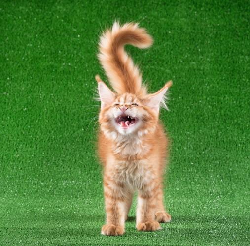 嬉しくて興奮して鳴く猫