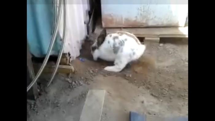 穴を掘るウサギ