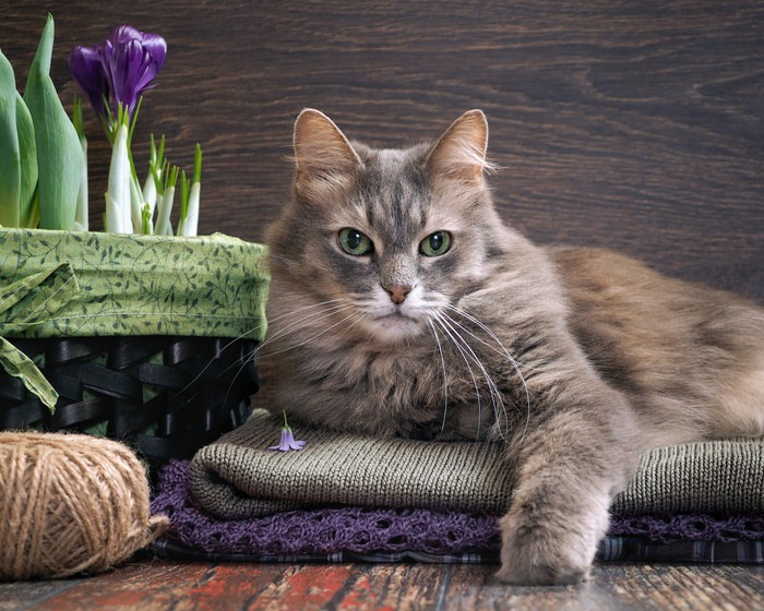 こちらをみるグレーの猫
