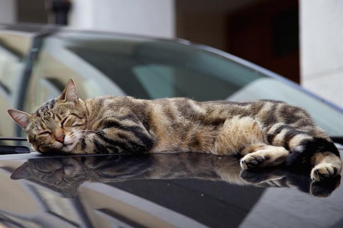 ボンネットの上で寝る猫