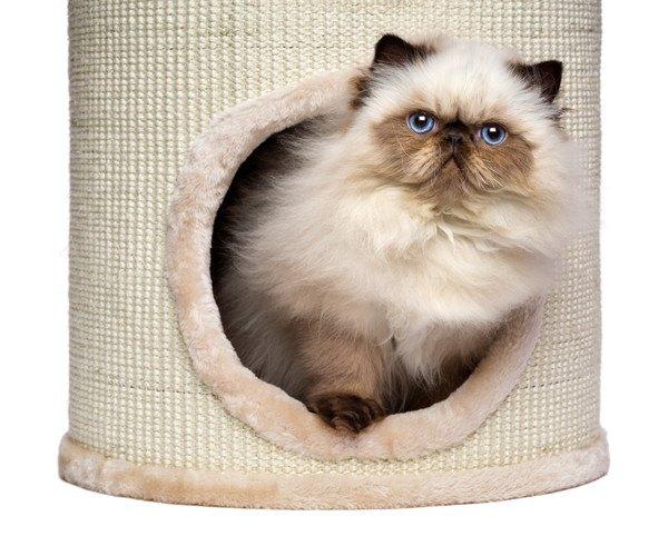 ポール付きキャットタワーから顔を出している猫