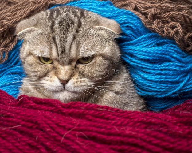 毛糸の中にいる猫