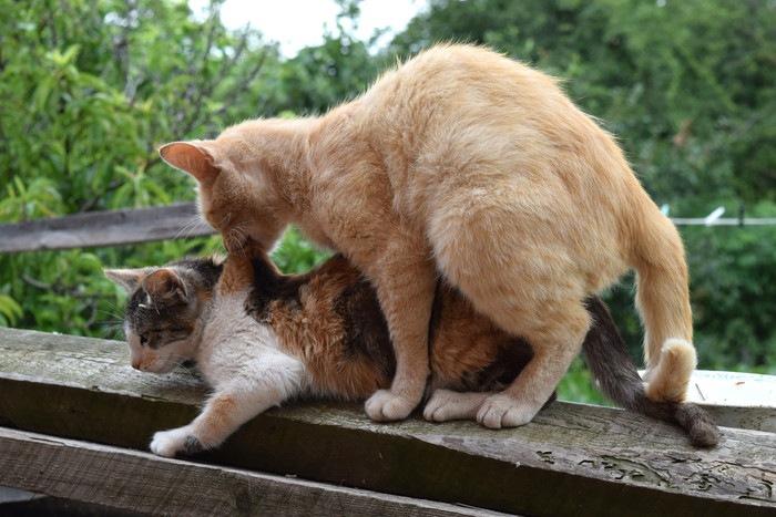 マウンティングしている猫