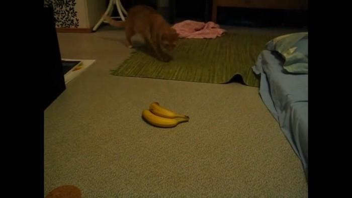 バナナに近づく猫