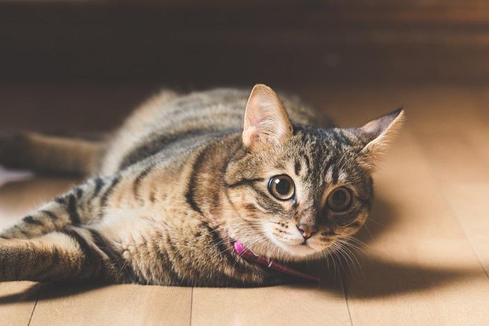 床に寝転んでいる猫