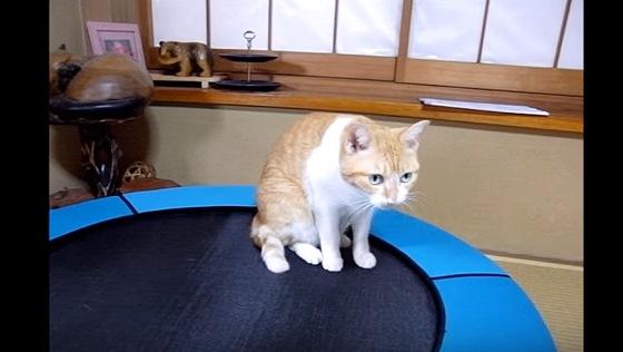 トランポリンにおすわりする猫