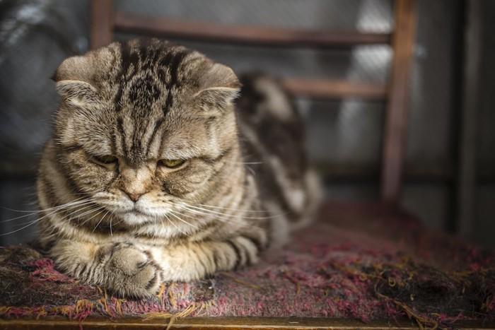 悲しそうな表情でうつむく猫