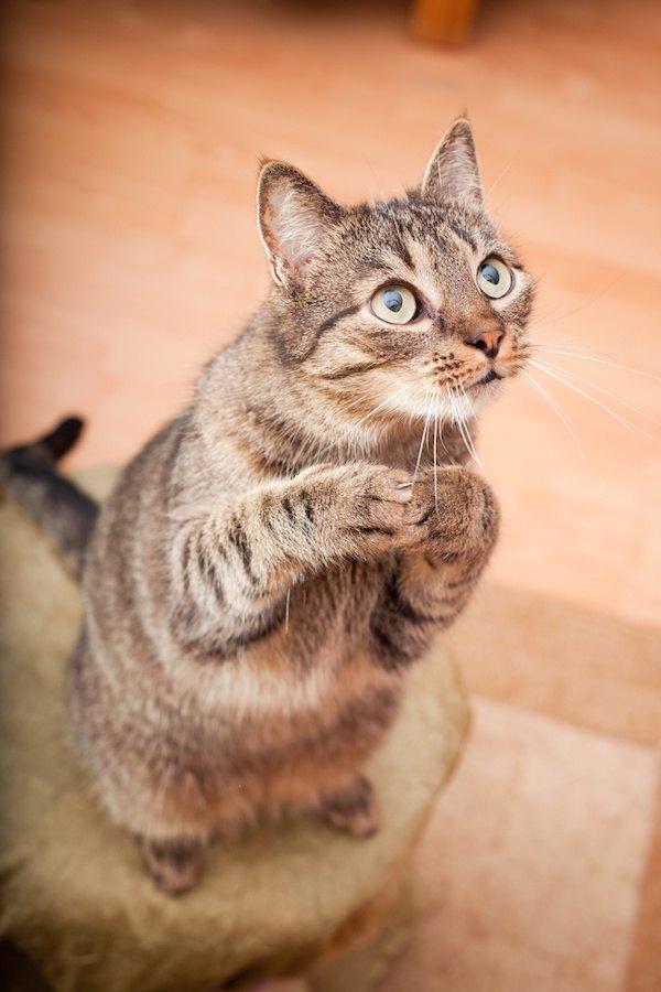 手を合わせて上目遣いをする猫