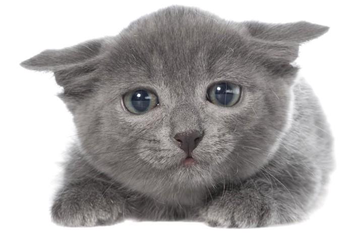 耳を伏せて不安そうな子猫