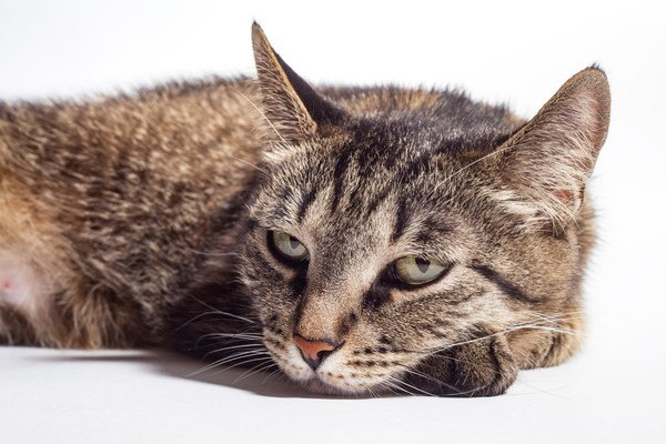 伏せるキジ猫