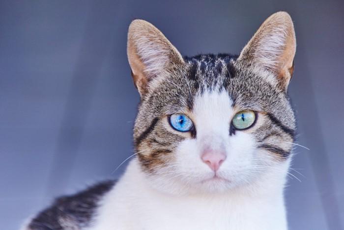 そこまでまじまじと、猫の目を見た事がある人もあまりいないかもしれませんが、猫にまつげはない事が分かったようです。ですが、よ〜く見ると、目の上に少しだけ長い被