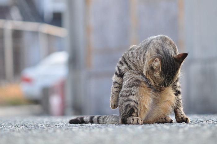 お腹を舐める猫の写真