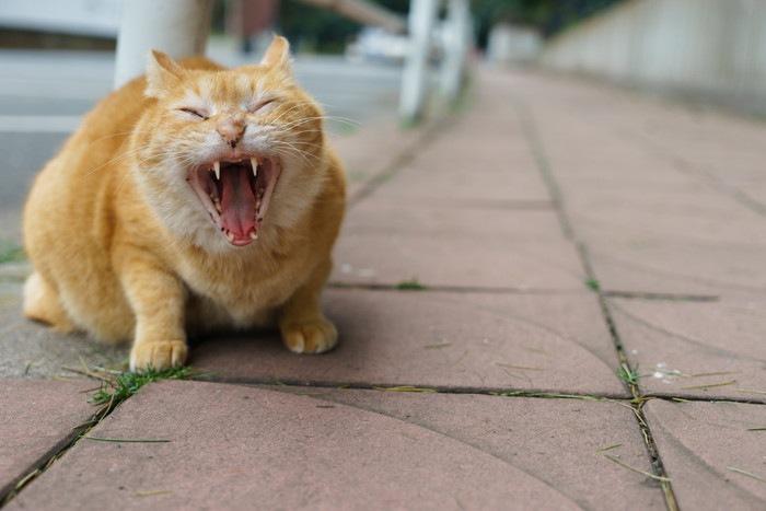 大きく口をあけた猫