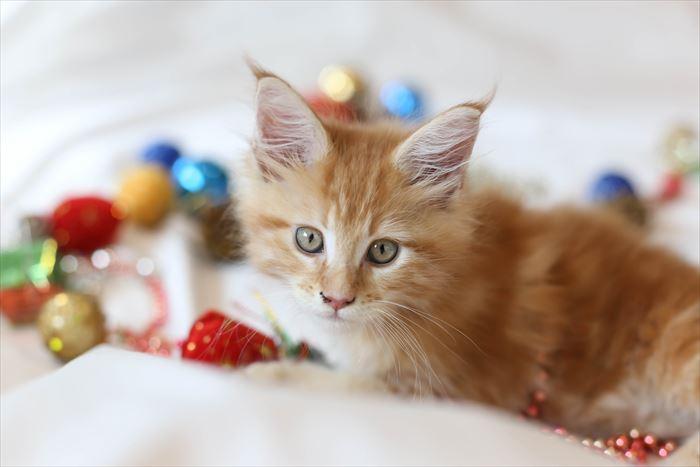 おもちゃとメインクーンの子猫