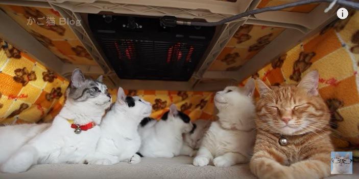 上を見あげる猫たちと寝る茶トラ