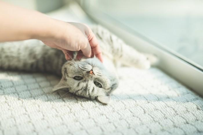 日なたぼっこしながら撫でられている猫