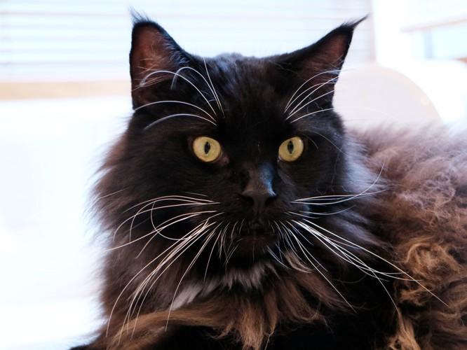 黒い毛並みが美しいイケにゃん。メインクーンのワグナスくん