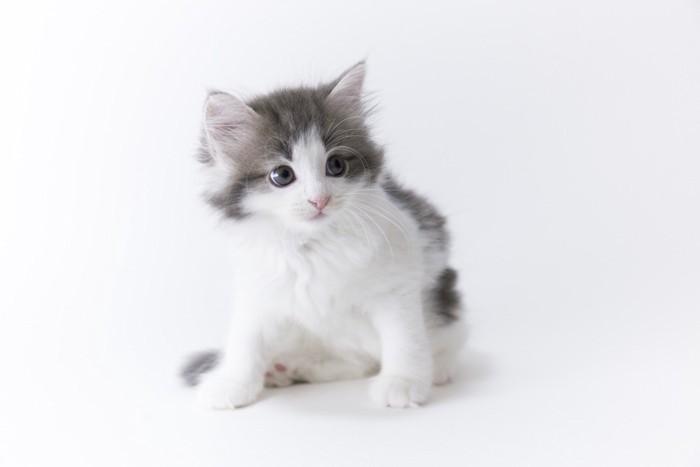 ノルウェージャンフォレストキャット仔猫