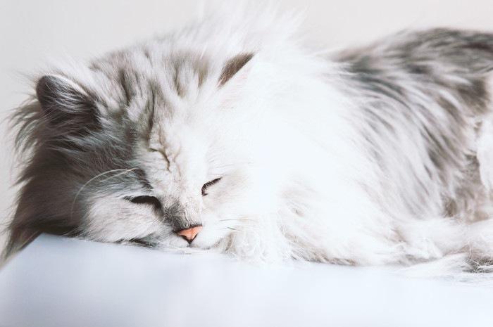 寝ているペルシャ猫