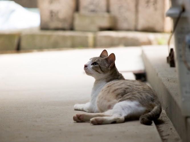 妊娠中の猫