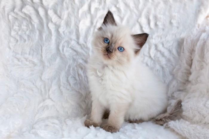 首をかしげてまっすぐ見つめるラグドール子猫