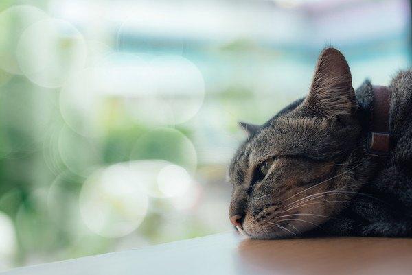 窓際で顎をのせて見つめる猫