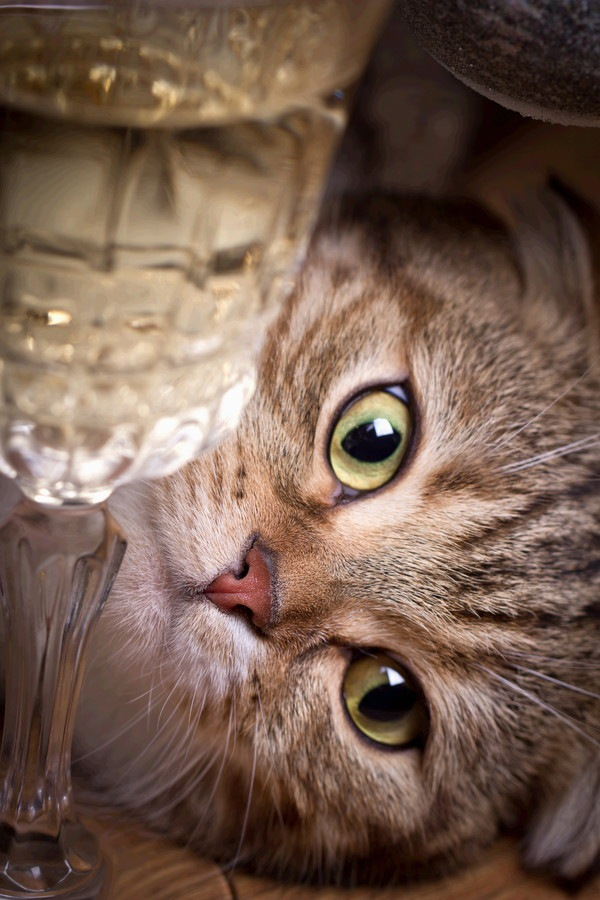 ワイングラス越しの猫