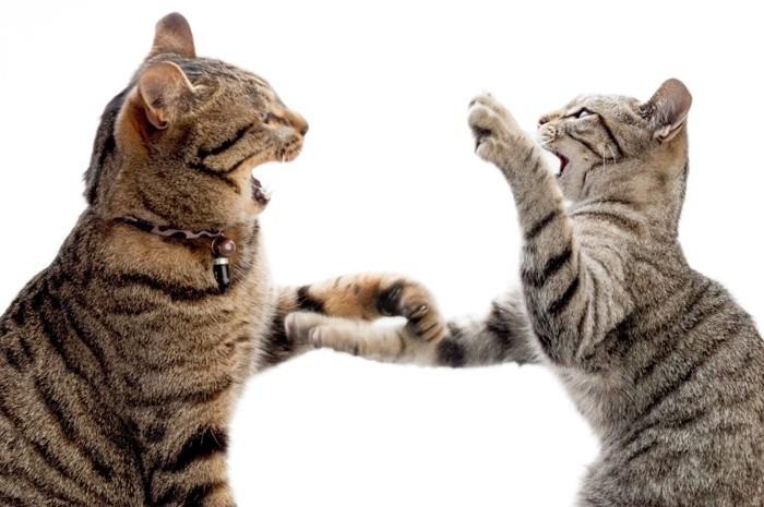 たたくしぐさの2匹の猫