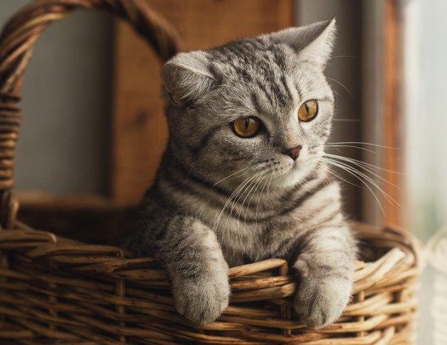 カゴから前足を出す猫の写真