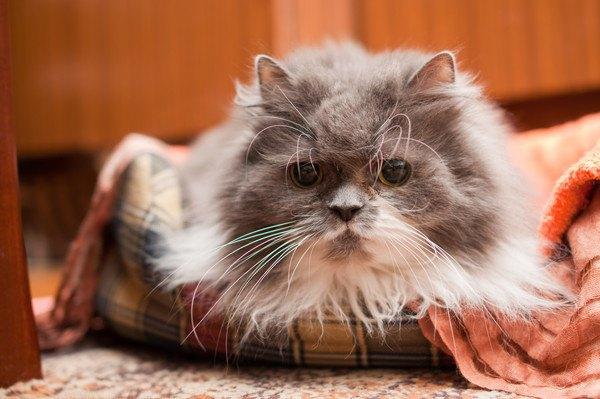 籠に入る長毛種の猫