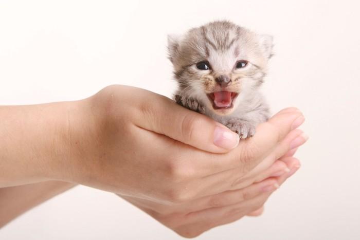 手のひらの上で鳴いている子猫