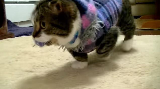 ポンポンをくわえている猫