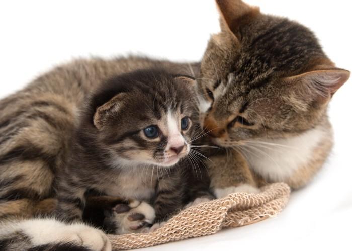 子猫を優しく見つめる母猫