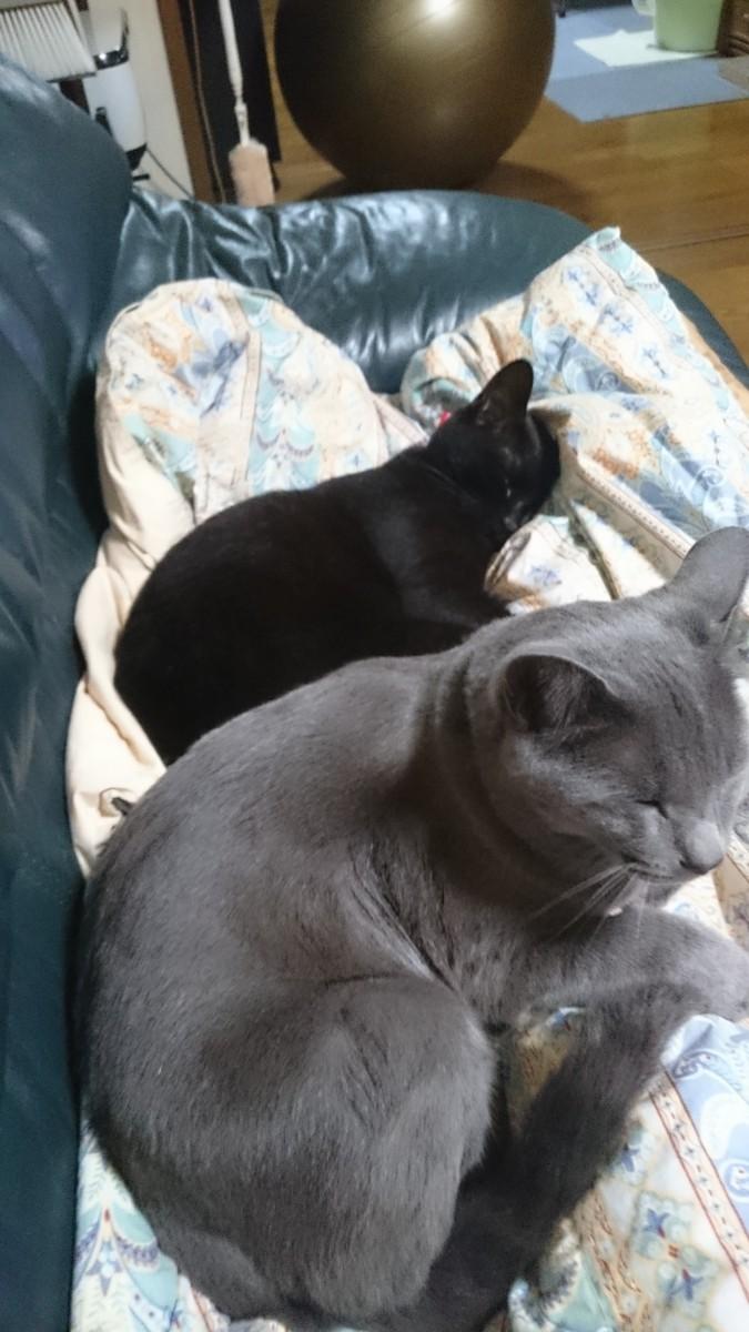 雄2匹でソファで昼寝
