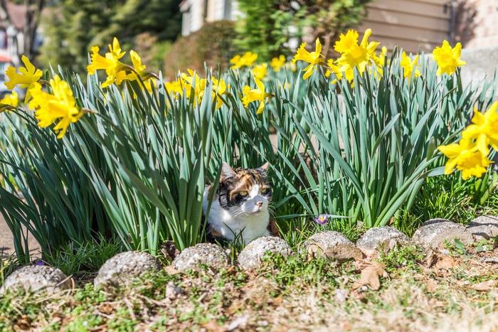花畑に潜む猫
