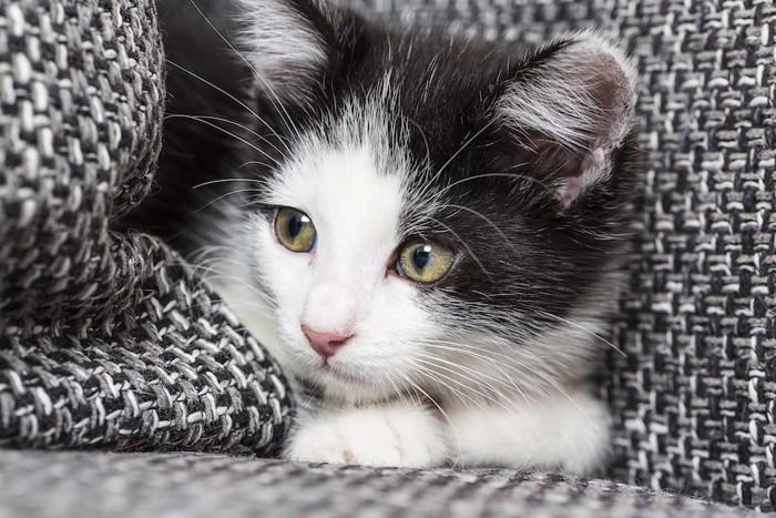 ブランケットに包まる猫