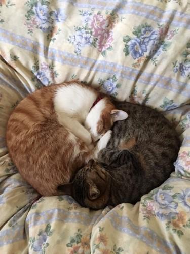 布団の上で丸まって眠るキジトラと茶トラ白